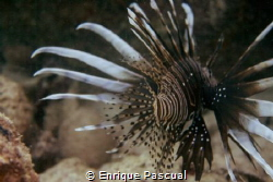 Lion Fish at Miami Reef by Enrique Pascual